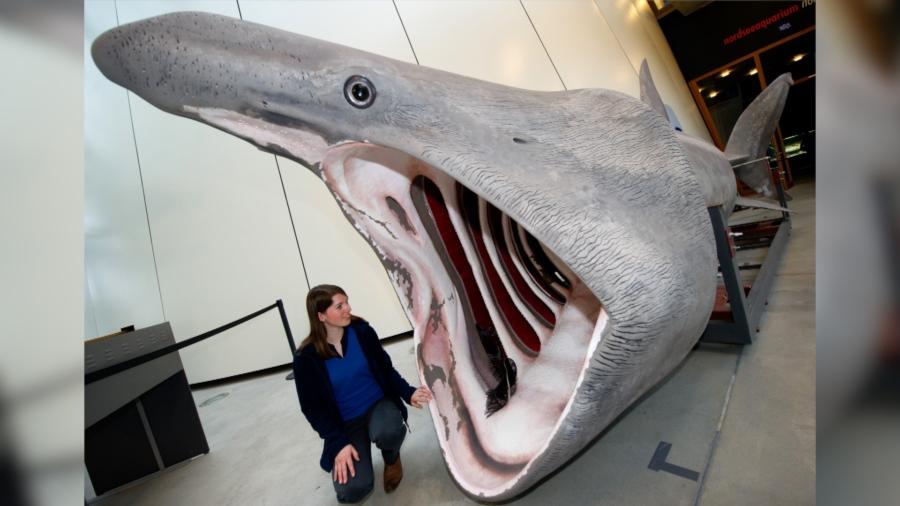 Video: 'SharkCam' Captures Lives of Basking Sharks in Scottish Waters