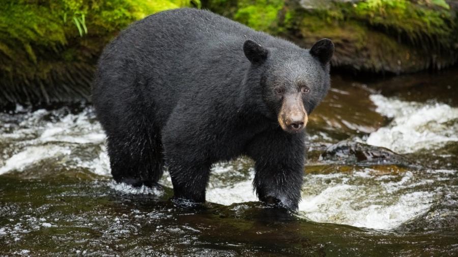 Bear Breaks Into Colorado Home, Then Smashes Through Wall to Escape Police