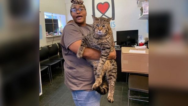 Huge 26-pound Shelter Cat That Enchanted the Internet Has Found a Home