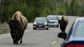 Watch: Family Driving Through Yellowstone Caught in Bison Stampede