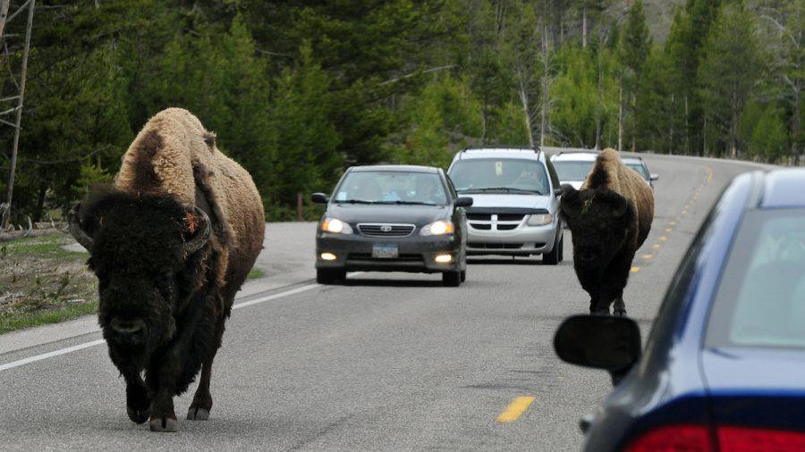 72-Year-Old Woman Gored by Bison at Yellowstone National Park