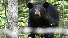Videos and Images Show Mysterious 3-Legged Black Bears Roaming North Carolina