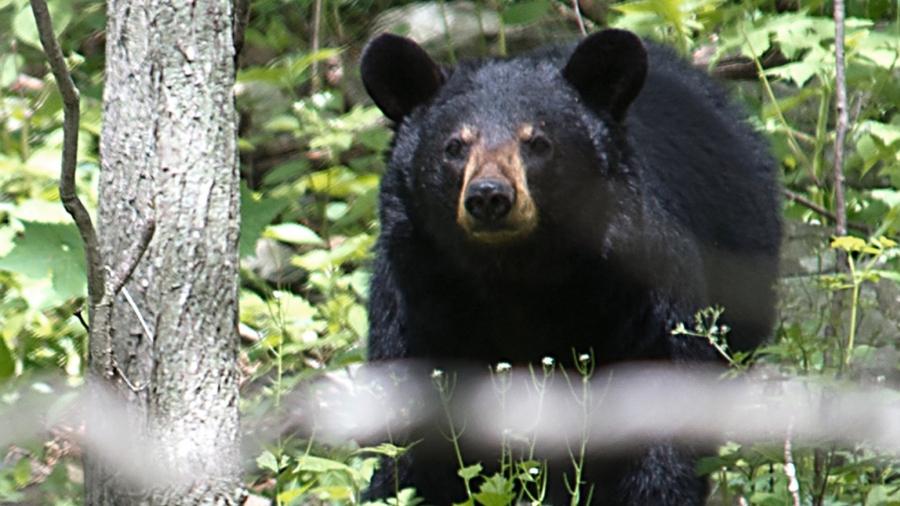 Black Bear Kills Minnesota Woman on Island in Canada Waters