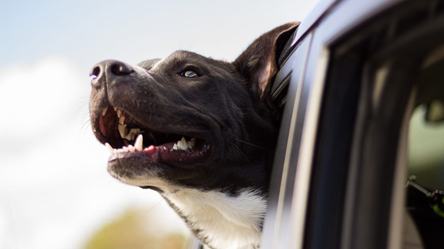 Dog Dies in Hot Car After Owner Leaves to Shop in Walmart