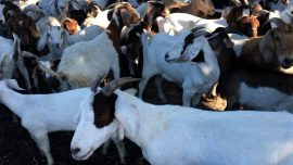 California School Uses Goats to Clear Away the Weeds