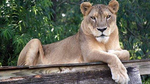 Heat Proves Deadly for a 17-Year-Old Lion at a North Carolina Animal Sanctuary