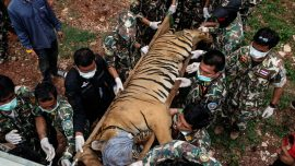 Almost 150 Tigers Were Rescued From a Thai Temple. Now, Over Half Are Dead