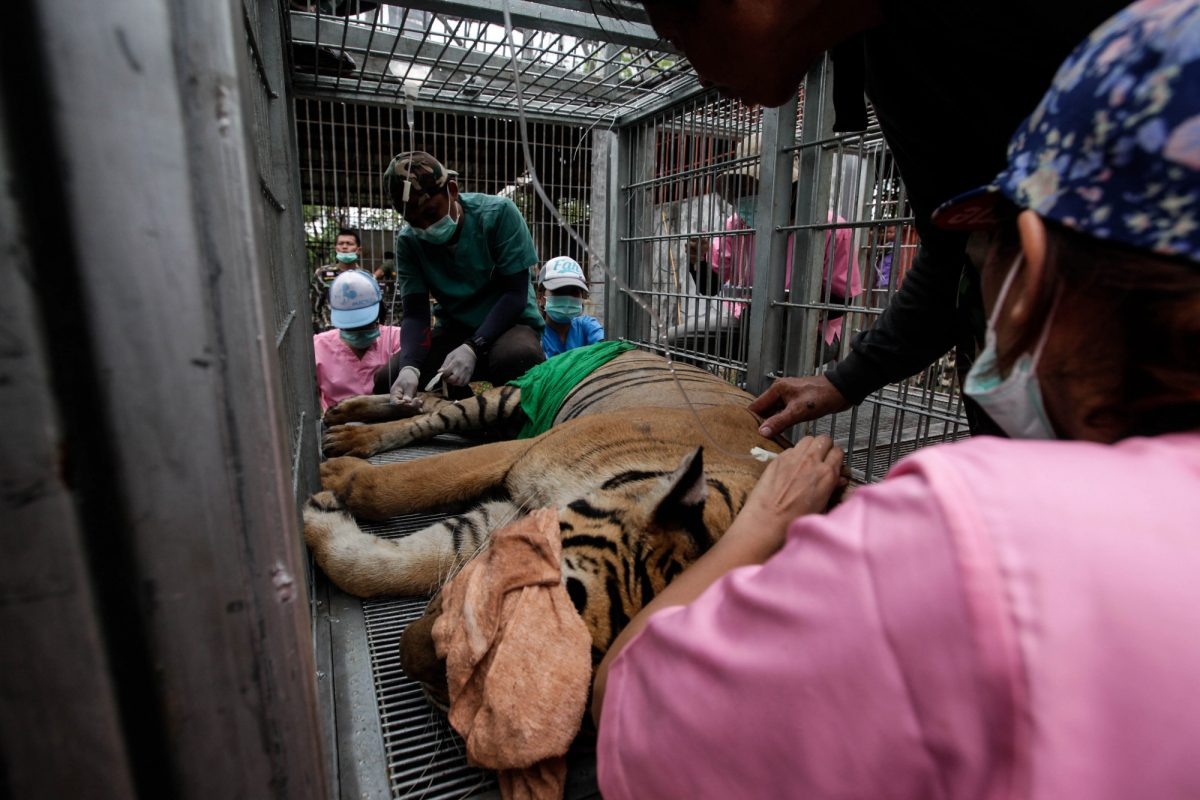 Tigers saved in Thailand 4