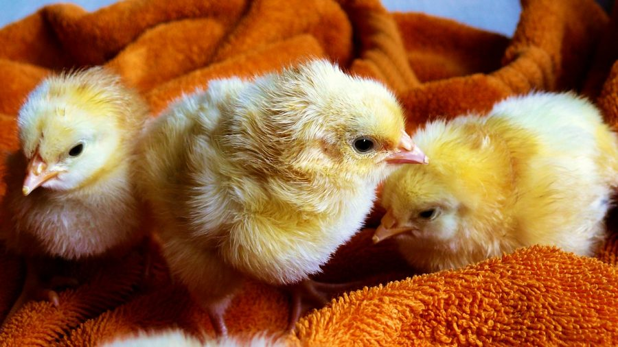 Don't Kiss Your Chickens, the CDC Says