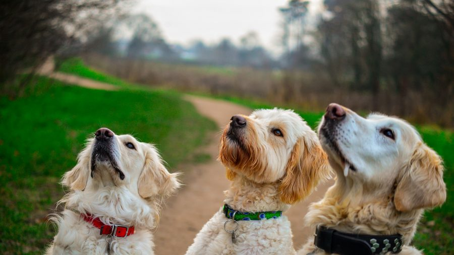 FDA, CDC: Don't Buy or Feed Your Dog Any Pig Ear Dog Treats