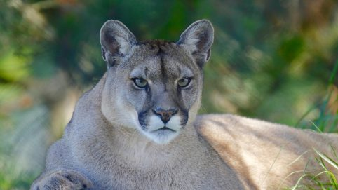 6-Year-Old Attacked by Mountain Lion, Saved by Adult Nearby
