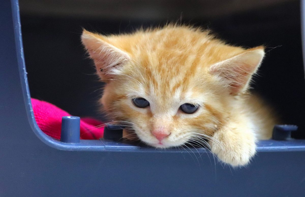 A picture of Tiffany Trump's new kitten