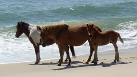North Carolina's Wild Horses Won't Evacuate, But They Know How to Survive Hurricanes