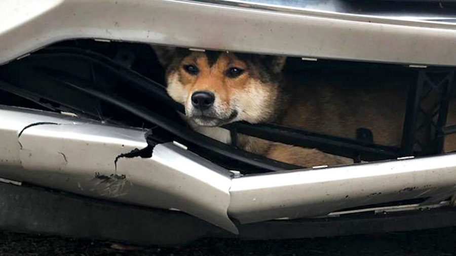 Ruff Ride: Dog Struck by Car Rides Inside Bumper for Miles