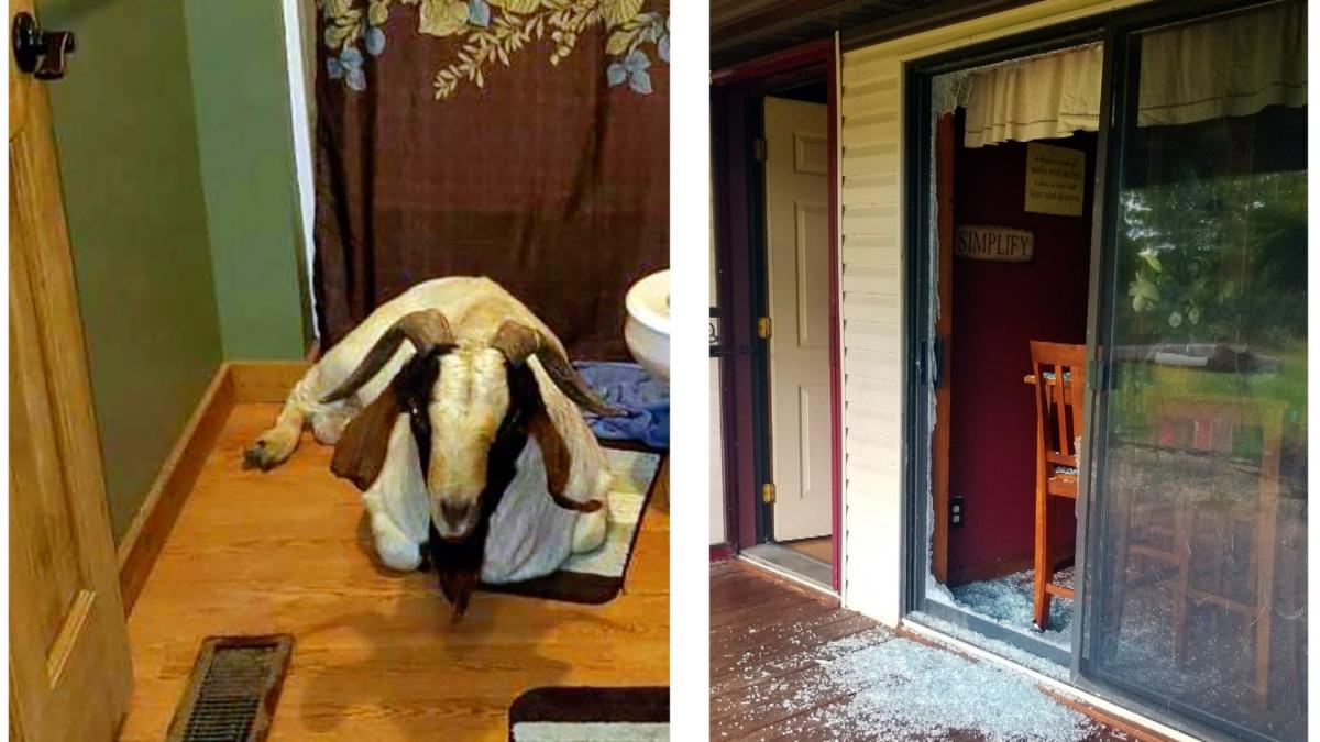 Goat break in house