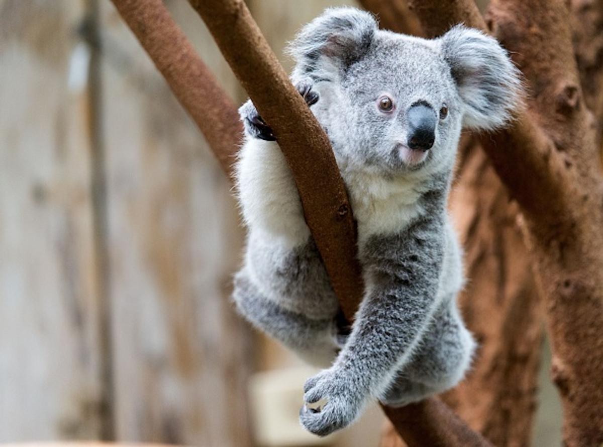 Koala-sits-in-tree
