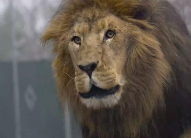lion-shot-eight-times