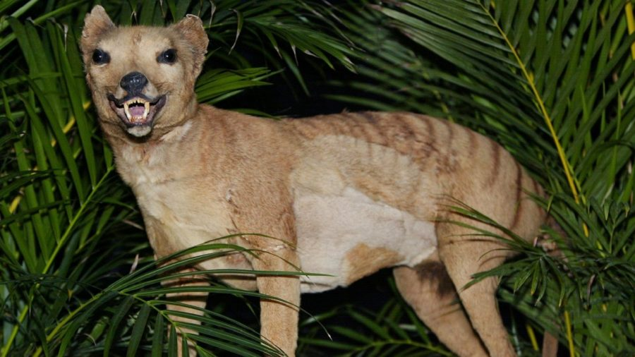 People Are Reporting Sightings of the Tasmanian Tiger, Thought to Be Extinct