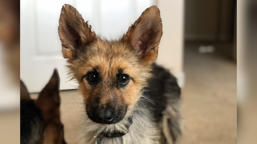 This German Shepherd Who Will Look Like a Puppy Forever Is the Best Thing on Instagram