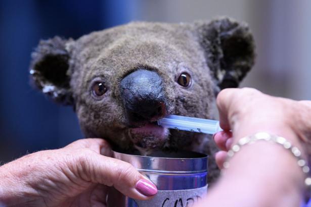 Conservation Detection Dog Saves Koalas From Australia's Devastating Bushfire