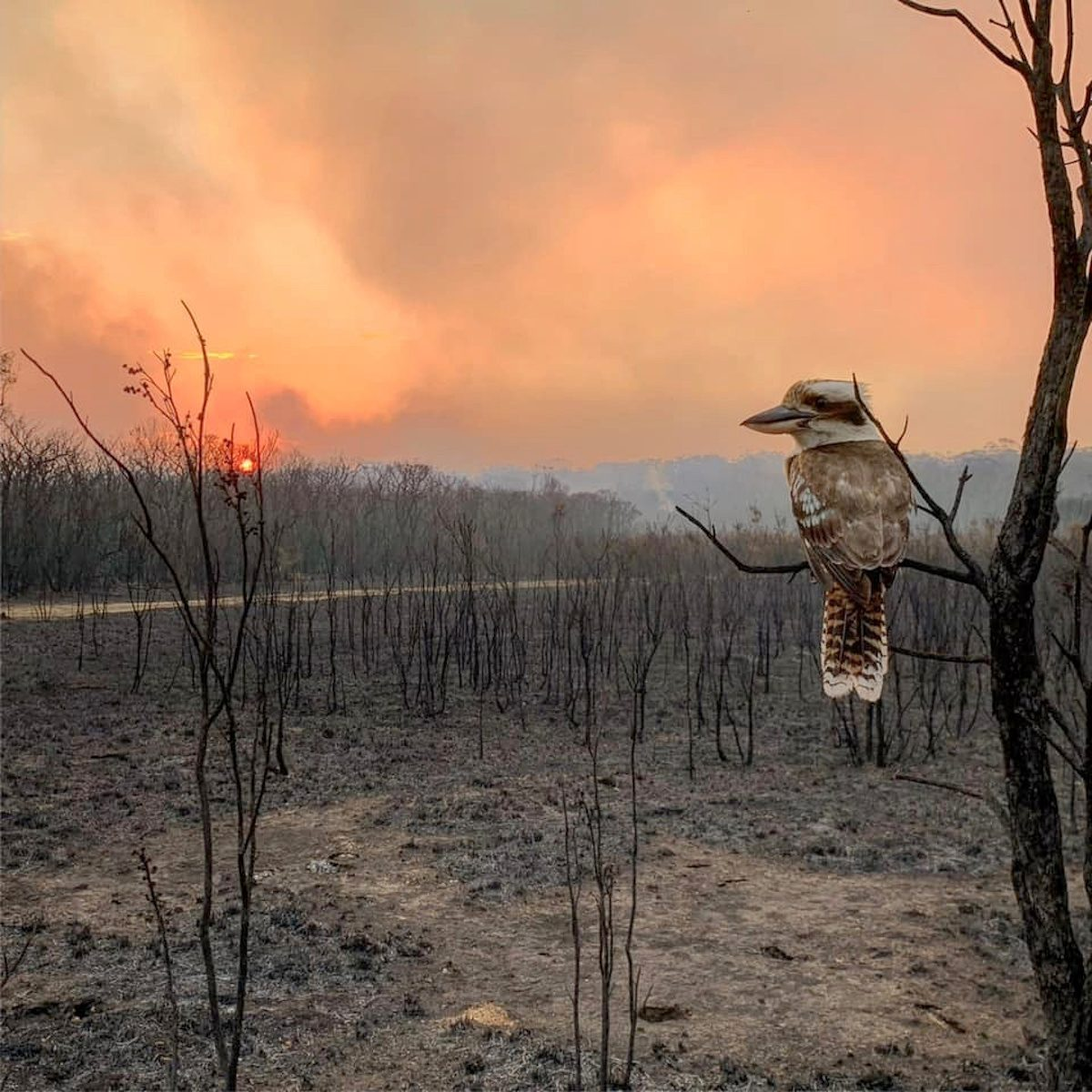 Social media image of a kookaburra perching on a burnt tree in the aftermath of a bushfire in Wallabi Point, Australia