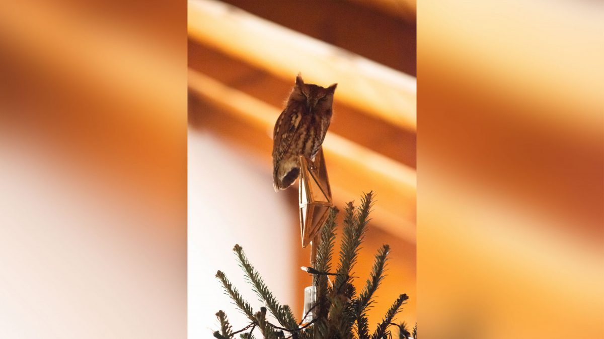 A Georgian family found an owl hidden in their Christmas tree