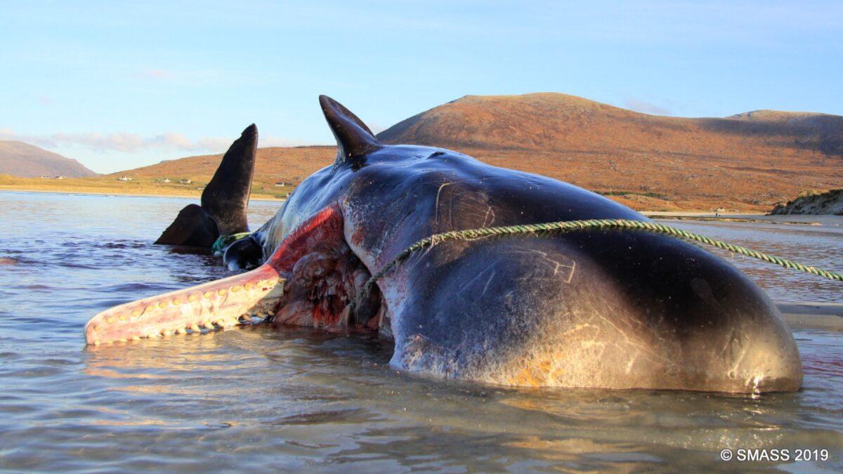 The sperm whale's carcass