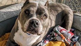 After More Than 5 Years in Shelter, 9-Year-Old Pit Bull Finally Gets Adopted Just in Time for Christmas