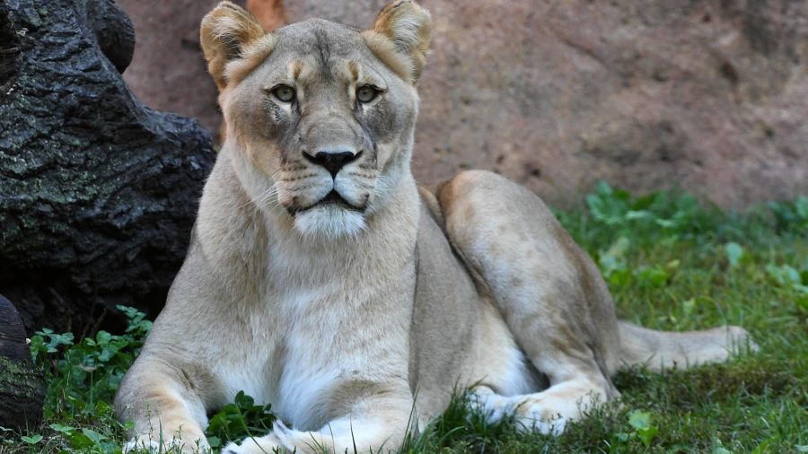 Female Lion at Chicago-Area Zoo Dies Less Than 2 Weeks After Mate