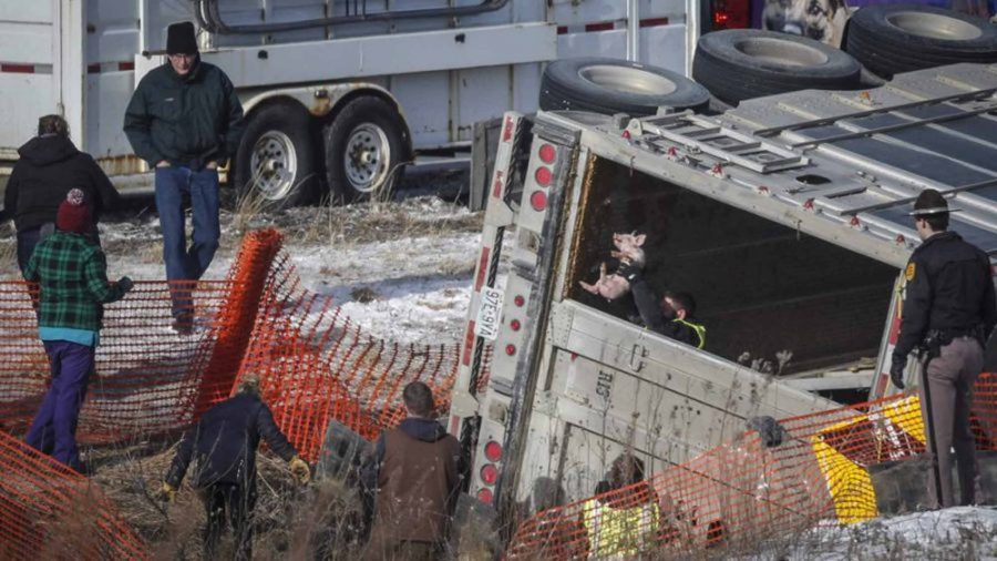 Truck carrying 1,738 piglets overturned in Iowa