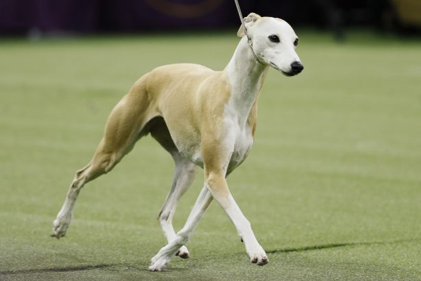 Bourbon, the whippet-144th Westminster Kennel Club dog show