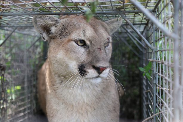 California-Mountain-Lion