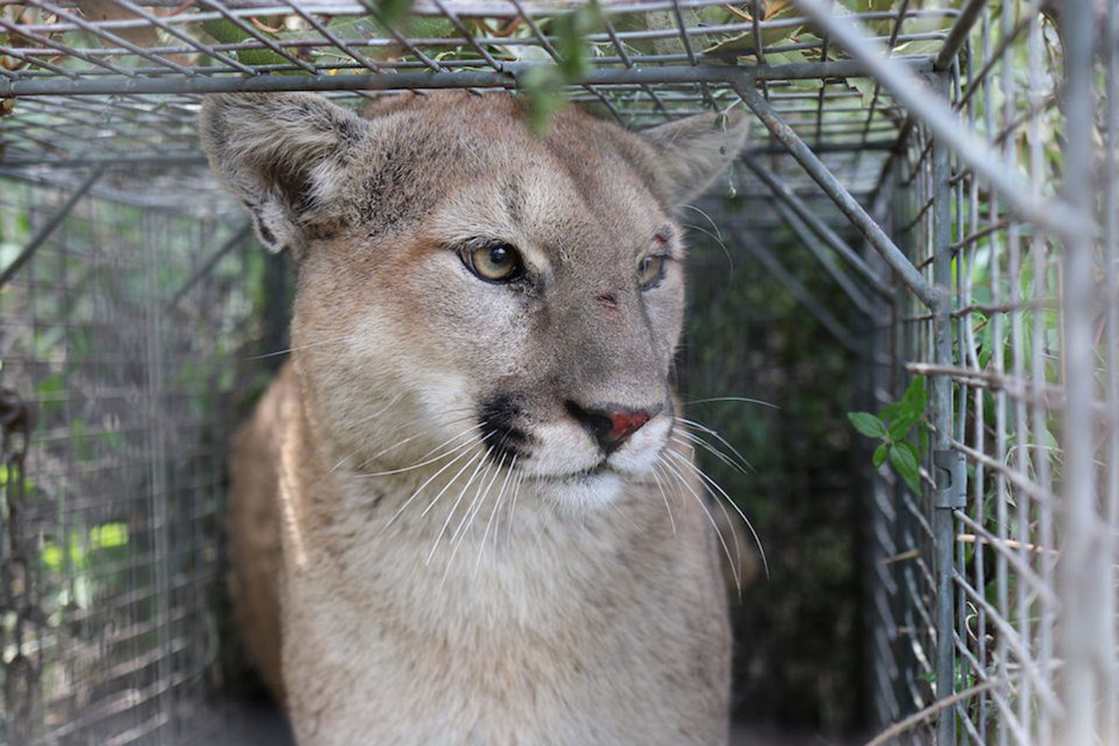 First California Mountain Lion Killed Under State's New ...