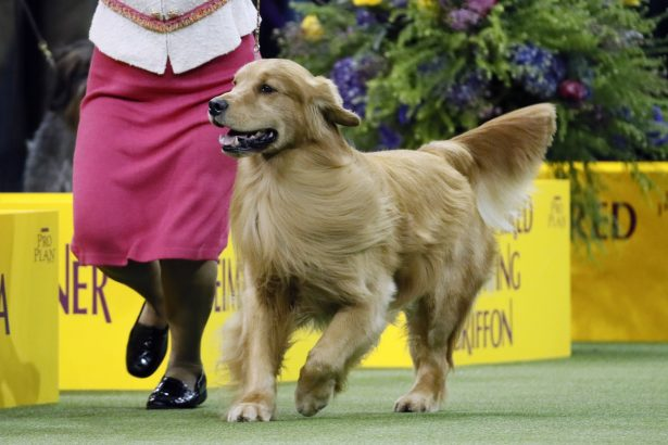 Daniel, the golden retriever, wins the sporting group- 144th Westminster dog show
