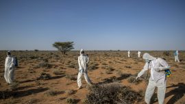 'Where It Begins': Young Hungry Locusts Bulk up in Somalia