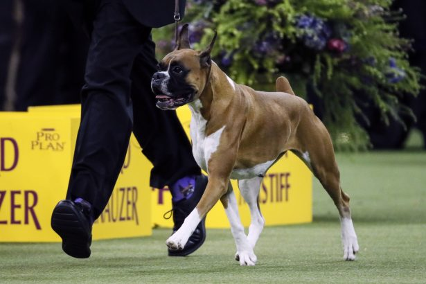 Wilma, the boxer-144th Westminster Kennel Club dog show
