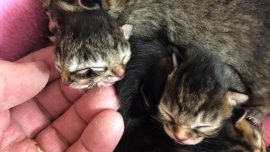 Biscuits and Gravy, the Kitten Born With Two Faces, Dies