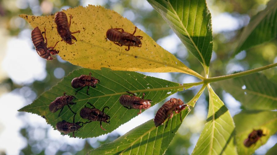 Millions of Cicadas Are Expected to Emerge After 17 Years Underground Because, of Course, It's 2020