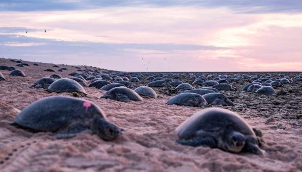 AUSTRALIA-TURTLES