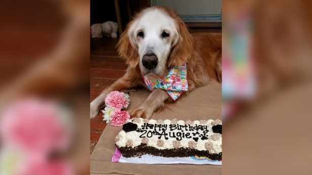 Augie the Dog Celebrated Her 20th Birthday This Week, Making Her the Oldest Golden Retriever in History