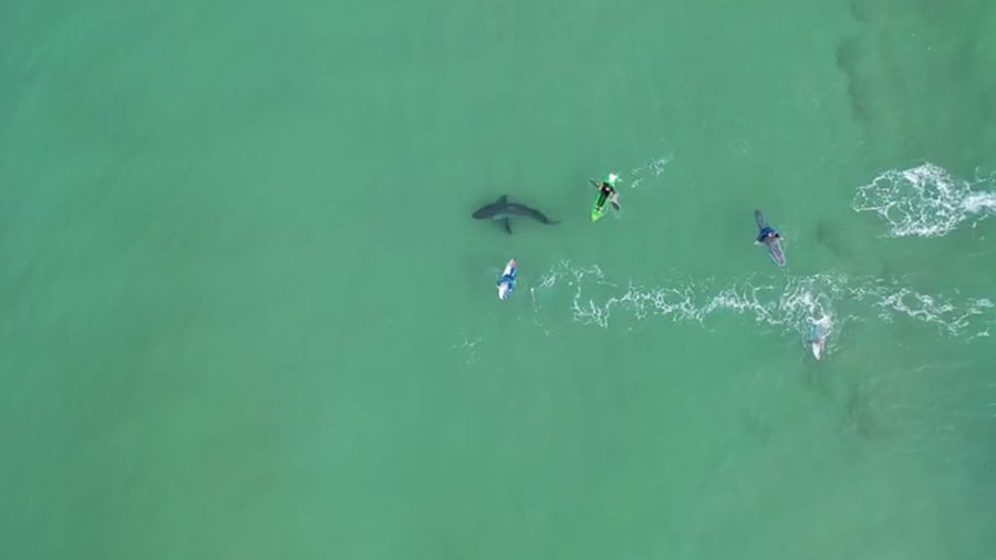 Drone Video Shows Surfers' Very Close Encounter With Great White Shark