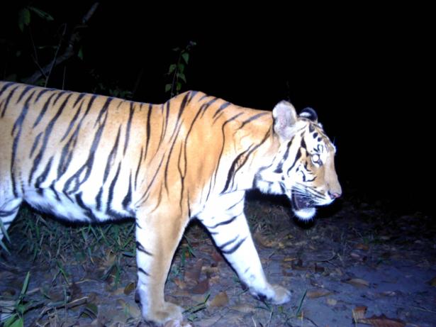 Endangered Tigers-1
