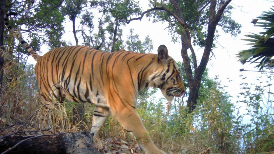 Endangered Tigers Captured on Camera in Thailand Bolster Hope for Species' Survival