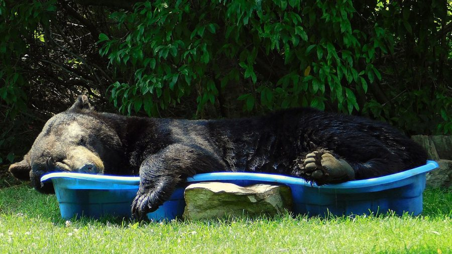 Huge Black Bear Spotted Relaxing in a Pool