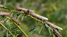 China's Locusts Plague Worsens, Crops Impacted