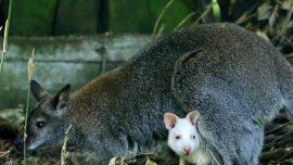 Albino Kangaroo Baby Missing From German Zoo