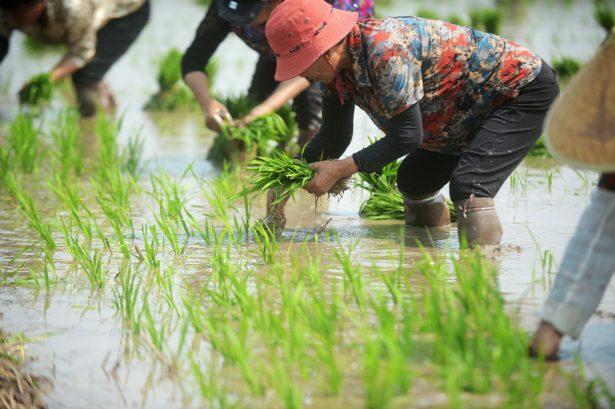 Farmers work in the fields in Yangzhou