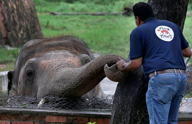 'Four Paws' offers comfort to an elephant named 'Kaavan'