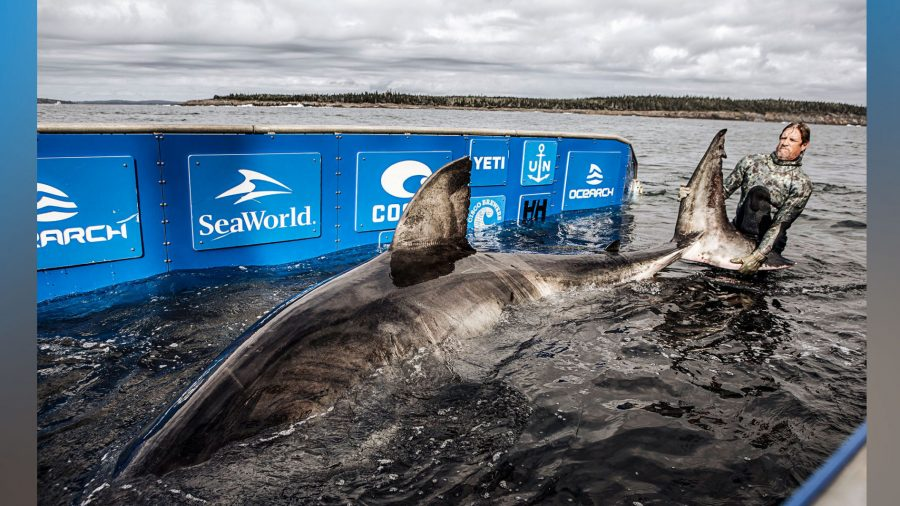 Massive, 50-Year-Old Great White Shark Dubbed 'Queen of the Ocean' Caught and Tagged